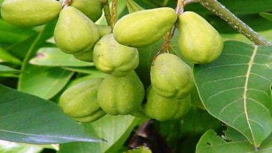 Haritaki (Harad), A Miraculous Herb That Gives Several Benefits to Our Health