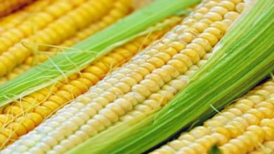 benefits of corn silk'