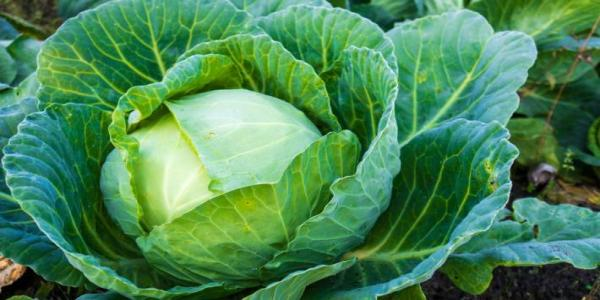 health benefits of eating cabbage