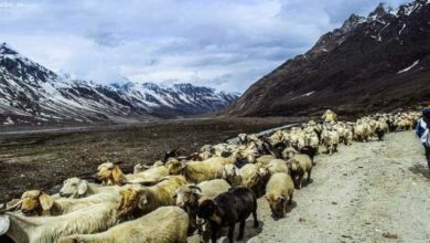 HP Govt. to Help Shepherds to Reach the Mountains, Here's How