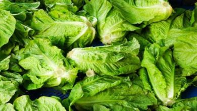 amazing-health-benefits-of-Lettuce-India