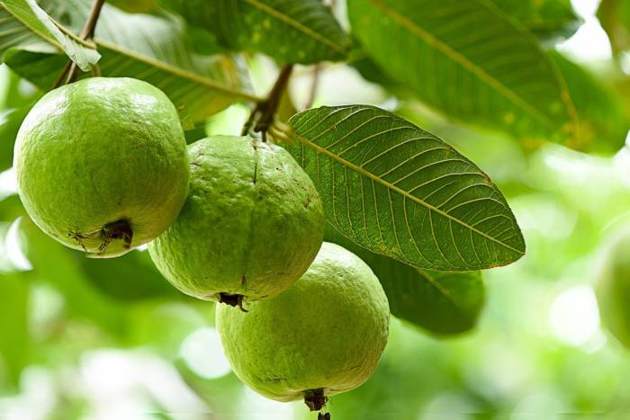 Five Reasons To Add Gauva To Your Diet (1)